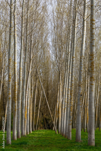 Forest with high trunks of Canadian poplar. Populus canadensis.