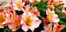 Bouquet Of Orange And Pink Flowers Alstroemeria. Panorama.