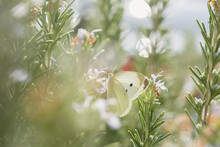 White Cabbage Butterfly On Blue Rosemary Flowers. Day Butterfly Lat. Pieris Brassicae Feeds On Nectar. Bright Summer Rays Of The Sun. Macro Atmospheric Blurred Background. Concept, Freedom, Ease.