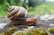Leinwandbild Motiv Big snail in shell crawling on road. Helix pomatia also Roman snail, Burgundy snail, edible snail or escargot