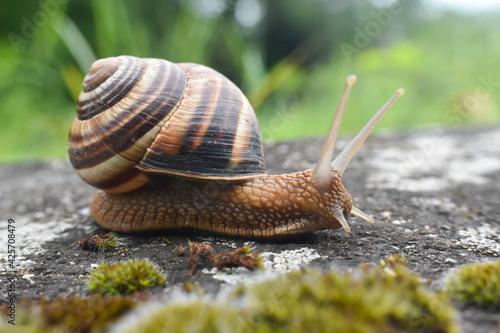 Obraz Big snail in shell crawling on road. Helix pomatia also Roman snail, Burgundy snail, edible snail or escargot - fototapety do salonu