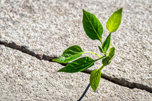 A Sprout With Leaves Growing From A Crack. The Concept Of Growth, Development, Overcoming Difficulties And Beginning.