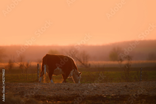 Tela Cow grazing on pasture at sunset