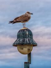 Gull On A Streetlight