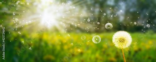 Fototapeta idyllische sommerwiese mit pusteblumen löwenzahn obraz