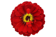 Old Red Zinnia Isolated On White. Very Detailed