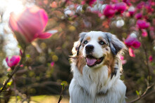 Australian Shepherd Girl Looking Excited Towárds Flower