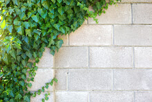 The Gray Brick Wall Is Covered With Green Decorative Ivy. Natural Background, Stone Fence