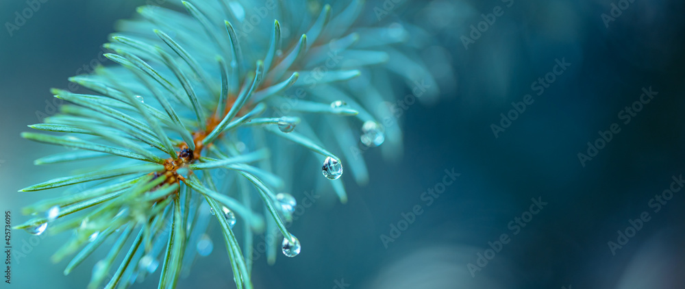 Fototapeta Blue spruce with drops of snow melting, macro. Spring nature scenery. Drops of rain on the needles of the spruce branch close up. Spring nature background.