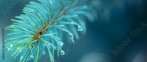 Fotografia Blue spruce with drops of snow melting, macro