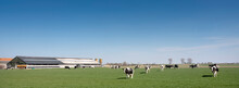 Black And White Spotted Cows In Green Meadow Near Farm In Dutch Province Of Zeeland