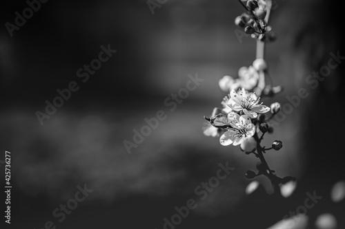 Obraz na plátne Cherry blossoms in artistic black and white process