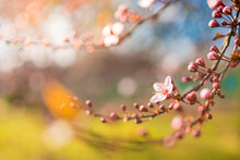 Spring Countryside, Romantic Flowers Landscape. Closeup Soft Blooming Pink Floral Abstract Texture Design. Macro Flowers, Springtime Nature. Sun Rays, Beams Spring Card. Idyllic Cherry Blossom