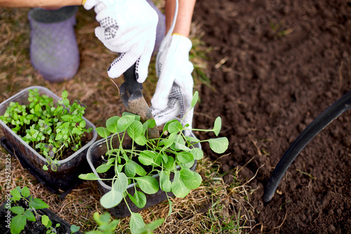 Photo Woman's hands in gloves planting a cabbage seedling in ground, working on farm