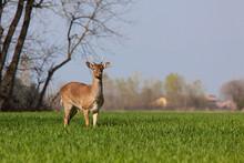 Fallow Deers Running On Grass Field