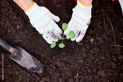 Canvas Print Woman's hands in gloves planting a cabbage seedling in ground, working on farm