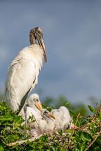 """""""Nesting Wood Stork Family"""""""