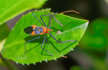 Macro Photography Of An Orange And Black Milkweed Assassin Bug (Zelus Longipes) Eating A Yellow Aphid On A Cherry Laurel Leaf (Prunus Laurocerasus).  Striking Detail
