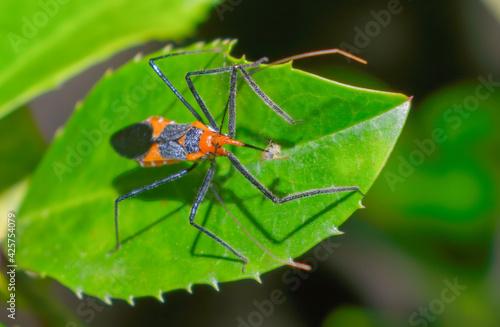 Macro photography of an orange and black milkweed assassin bug (Zelus longipes) eating a yellow aphid on a cherry laurel leaf (Prunus laurocerasus) Fotobehang