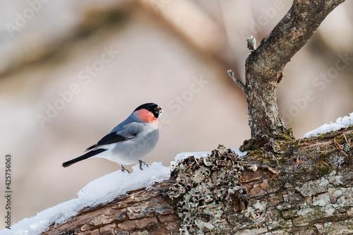 Fotografia ウソ雄(Eurasian Bullfinch)