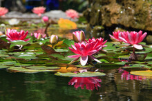 Water Lily On A Fountain Water