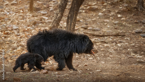 Fototapeta premium Very rare and shy sloth bear with baby searching for termites. Unique photo of sloth bears family in India. Wild animals in the nature habitat. Wild indian nature.Melursus ursinus.