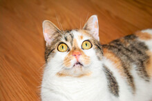 Portrait Of Scared Calico Cat Looking Up. Tortoiseshell Kitten Funny Fear Face