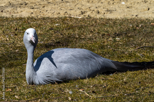 Fototapeta premium The Blue Crane, Grus paradisea, is an endangered bird