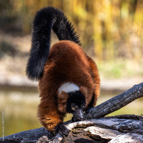 Fototapeta premium Beautiful red ruffed lemur, Varecia rubra in a german park