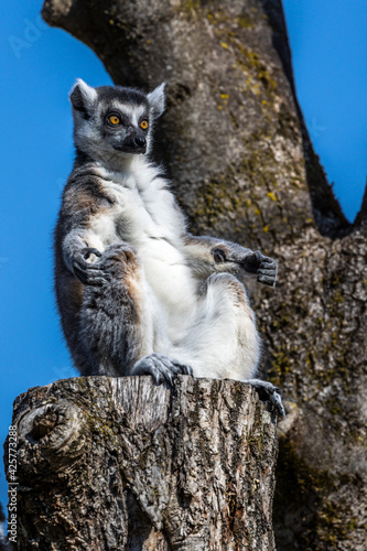 Fototapeta premium The ring-tailed lemur,Lemur catta with white ringed tail is the most known lemur