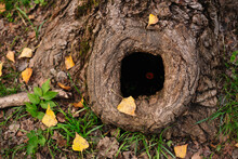 Tree Hollow In The Old Moss-covered Stump