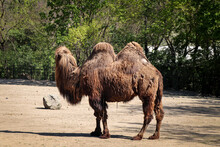 Bactrian Camels Family Walks Around Their Paddock And Thinks About Various Activities. Domestic Bactrian Camel, Is A Large Even-toed Ungulate Native. Pilgrimage Animals. Transport Across The Desert