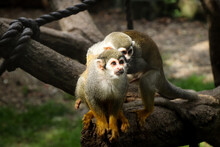 Cute Female Gray-yellow Common Squirrel Monkey Is Waiting For Her Lover When She Comes To Visit Her. Husband Saimiri Sciureus Jumps After His Younger Wife
