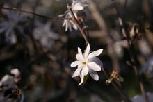 Star Magnolia, Starry Magnolia, Stellata Tree In Blossom. Tree Branch, White Flower Head On Dark Background. Spring Bloom In Ornamental Garden.
