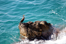 The Great Cormorant (Phalacrocorax Carbo) Sits On A Rock In The Mediterranean Sea