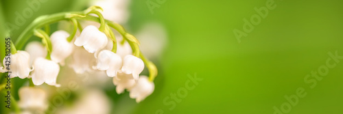 Fototapeta Lily of the valley flower close up, green nature panoramic background