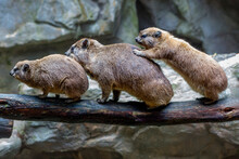 Daman Or Rock Hyrax. These Are Daytime Animals, They Spend Their Time Climbing Rocks And Gorges Or Jumping From Branch To Branch In Search Of Fresh Juicy Leaves. They Are Close Relatives Of Elephants.
