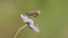 Small Skipper  Thymelicus Sylvestris Butterfly On A Scabious
