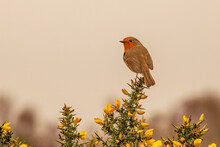 A Bright Red Robin Sits On Top Of A Gorse Bush