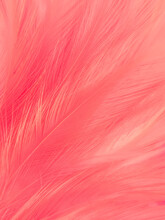 Beautiful Abstract Light Pink Feathers On White Background,  White Feather Frame On Pink Texture Pattern And Pink Background, Love Theme Wallpaper And Valentines Day, White Gradient