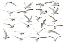 Twenty Three Flying Black Head Isolated Gulls Photo