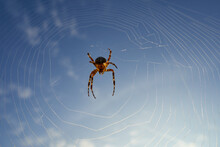 Garden Spider (Araneus) In Its Beautiful Web The Body Is Illuminated By The Sunshine, Blue Sky With White Clouds.