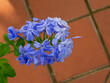 canvas print picture Plumbago in Bloom