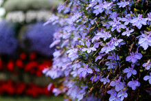 Purple Beautiful Flowers On A Flowerbed In A City Park
