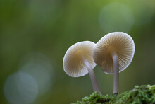 Green Background With Two White Mushrooms On The Moss