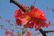 canvas print picture - Blüten der Zierquitte