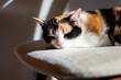 słodki śpiący kot trikolorka na krześle w słońcu