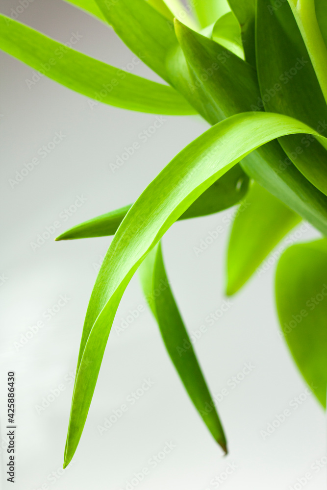 Liście tulipana
