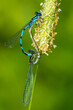 canvas print picture - Mating bluet damselflies on grass in New Hampshire.