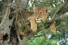 Stunning Lion In Tree Gazing Out With Piercing Eyes